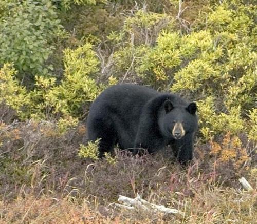 black_bear_01.jpg