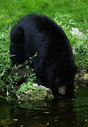 black_bear_02.jpg